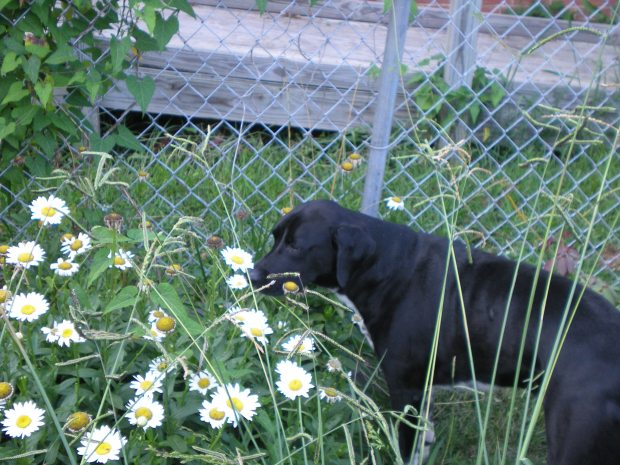 Boris and the daisies