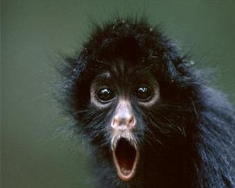 surprised-black-spider-monkey-funny-animal-picture