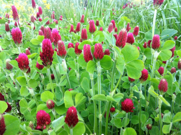 This is not my photo or my crimson clover, but it does look just like this. So pretty!