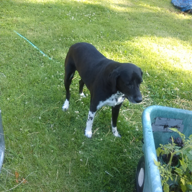 Boris the gardening dog